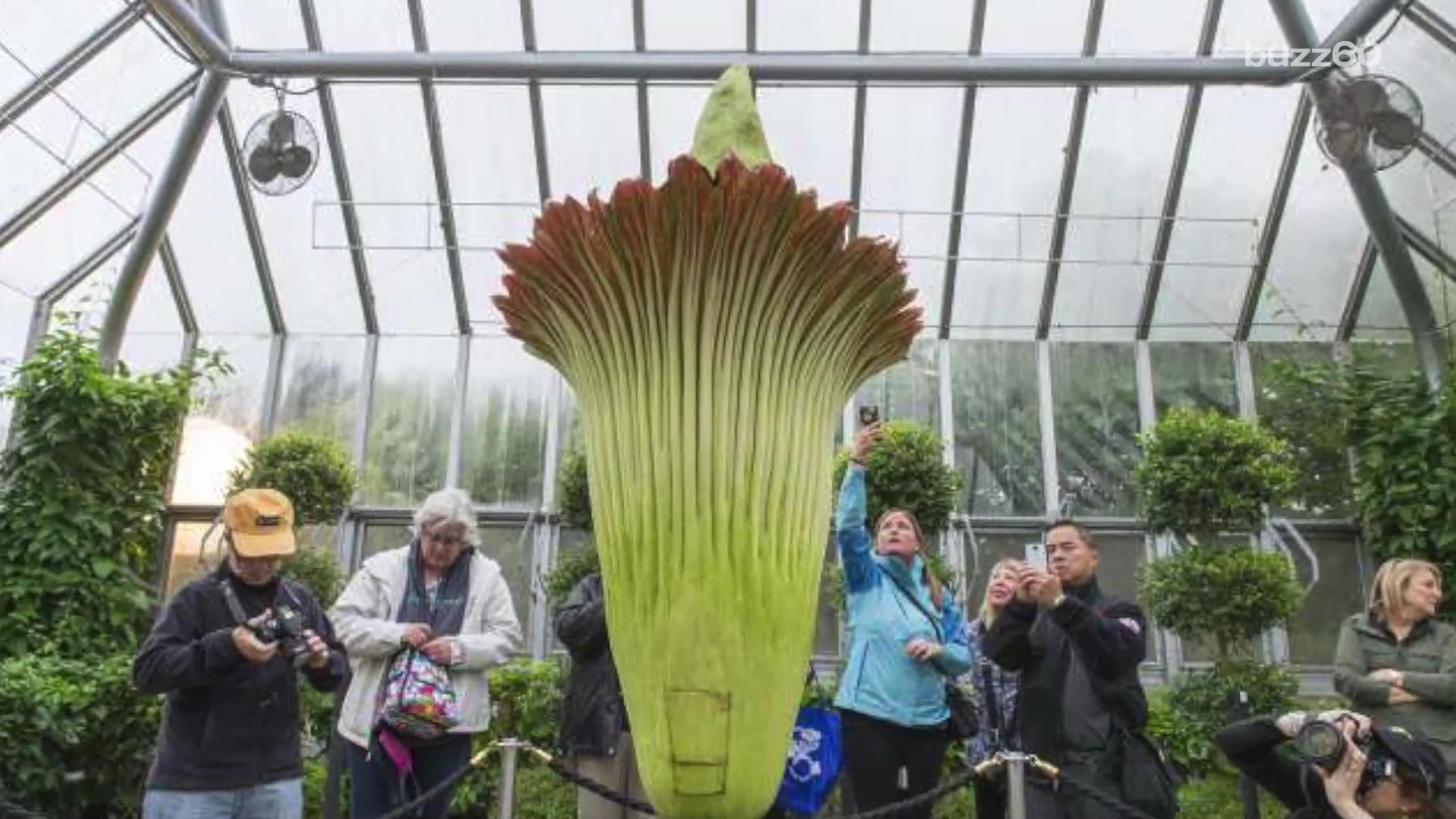 Visitors flock to 'dirty diaper' smell of blooming corpse flower