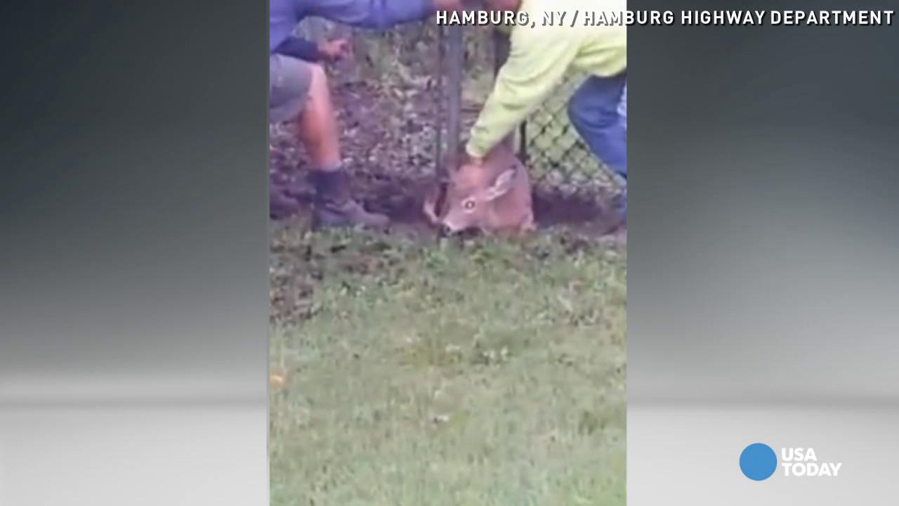 Oh deer! Highway workers free doe trapped in fence