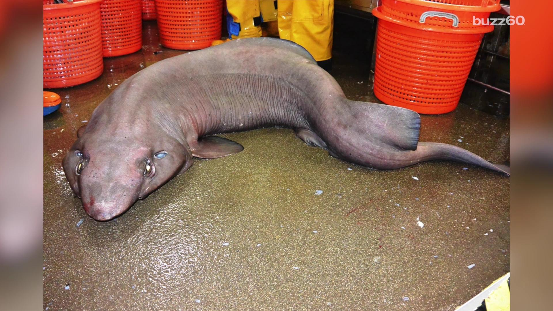 Extremely rare shark may be weirdest-looking animal ever