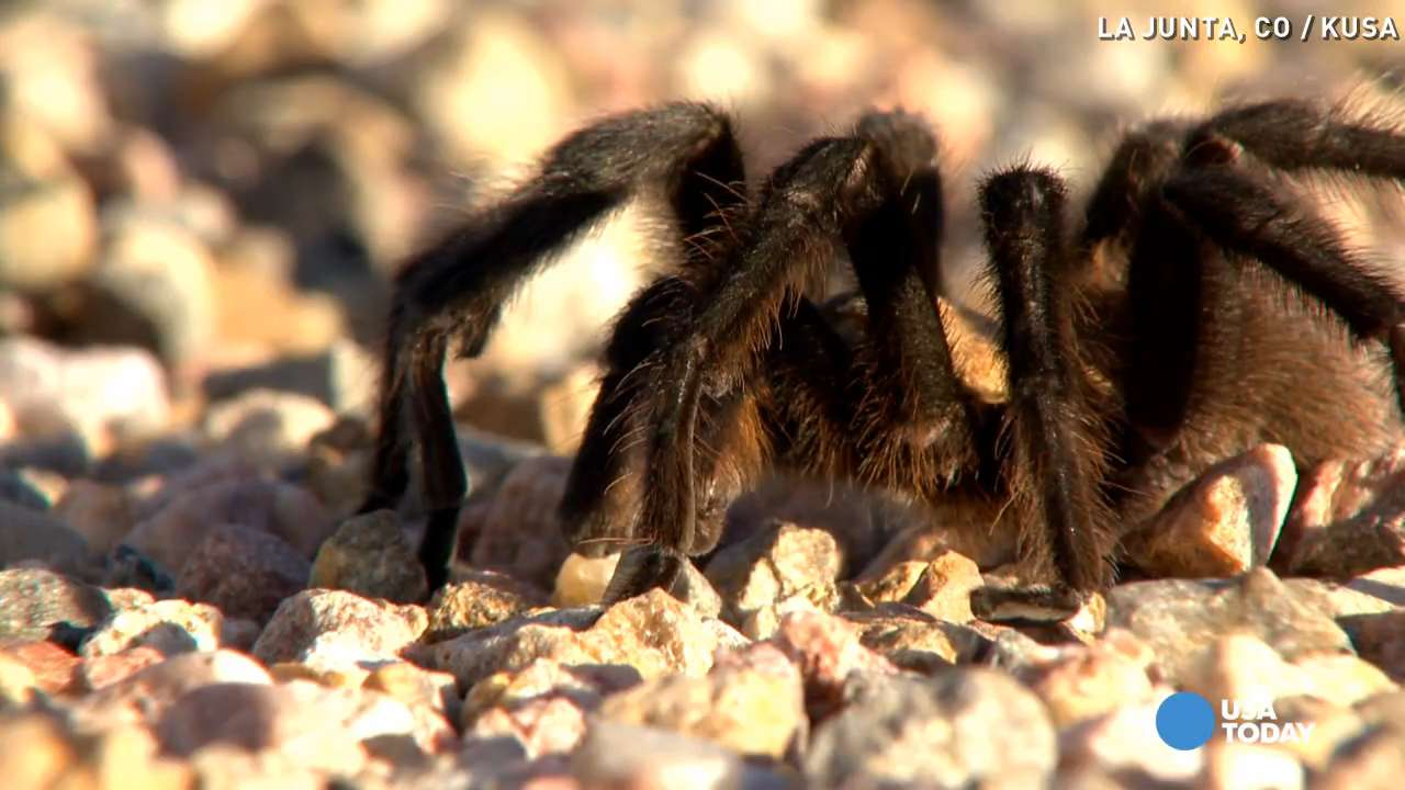 Tarantulas roam the roads in this town