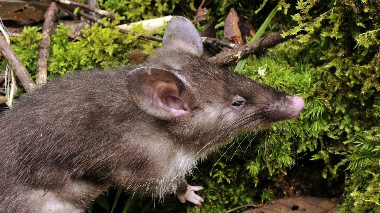 Scientists discover hog-nosed rat' in Indonesia