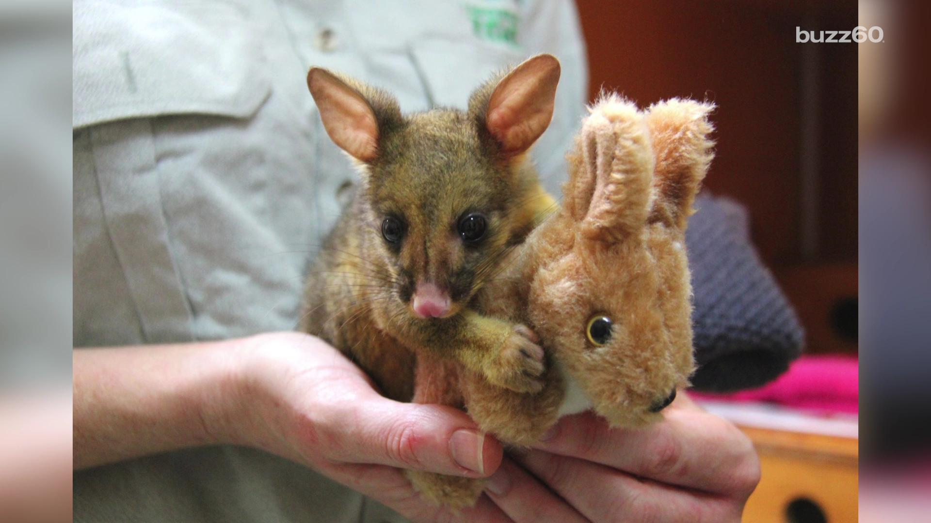 Adorable baby possum won't let go of tiny stuffed kangaroo