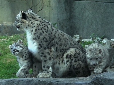 Snow leopard cubs make zoo debut