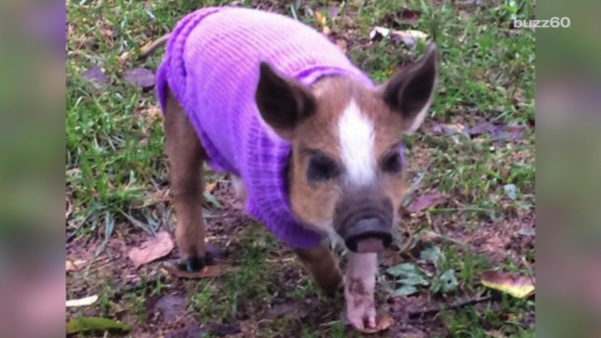 rescued baby pig trots around in handsome purple sweater