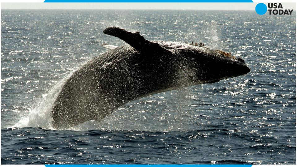 First humpback whales of the season spotted off the coast of Hawaii