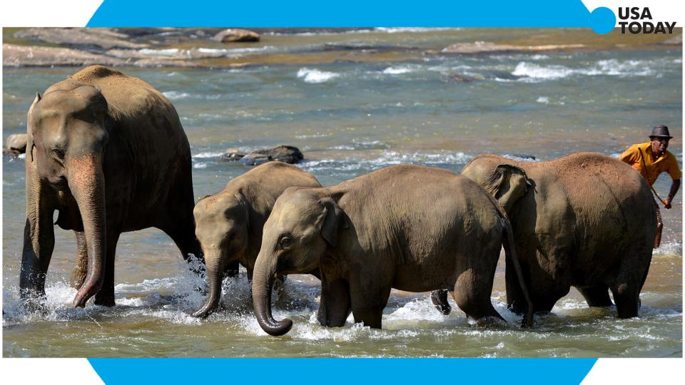 Scientists discover why elephants rarely get cancer: Tumor-fighting genes