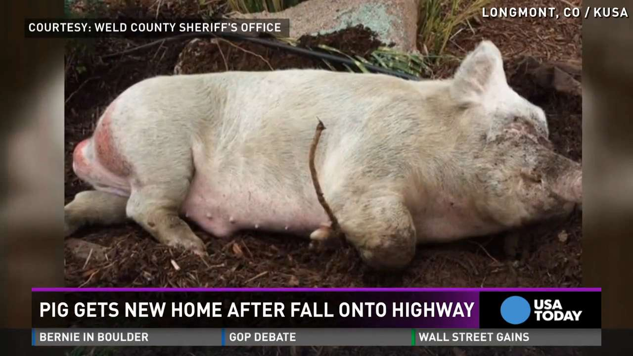 'Lucky' pig falls onto highway, gets new home