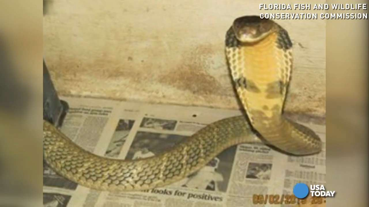 Missing king cobra found a month later behind dryer