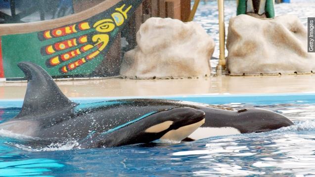 California bans killer Whale Breeding at SeaWorld