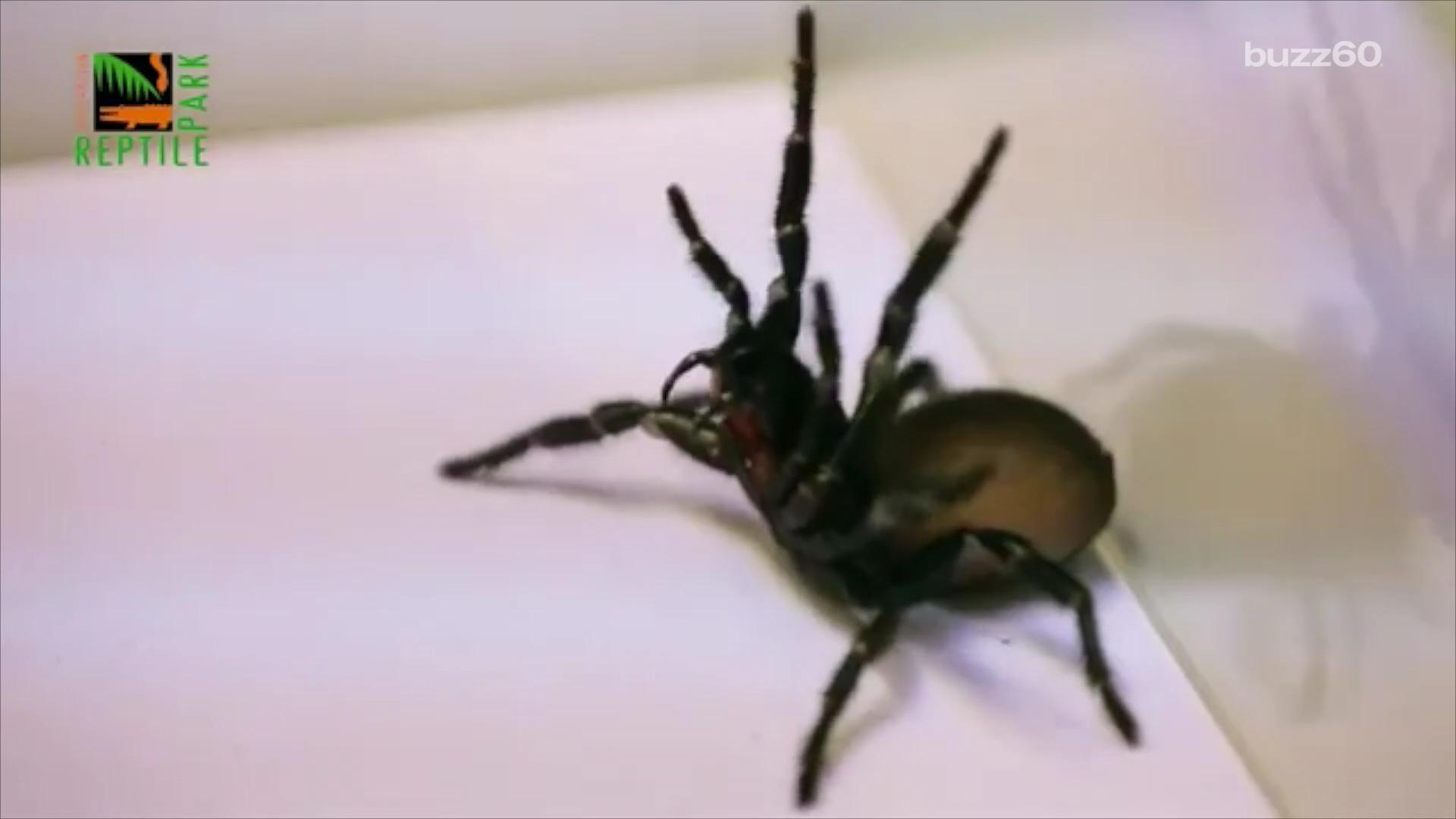Australians asked to catch deadly spiders to save themselves