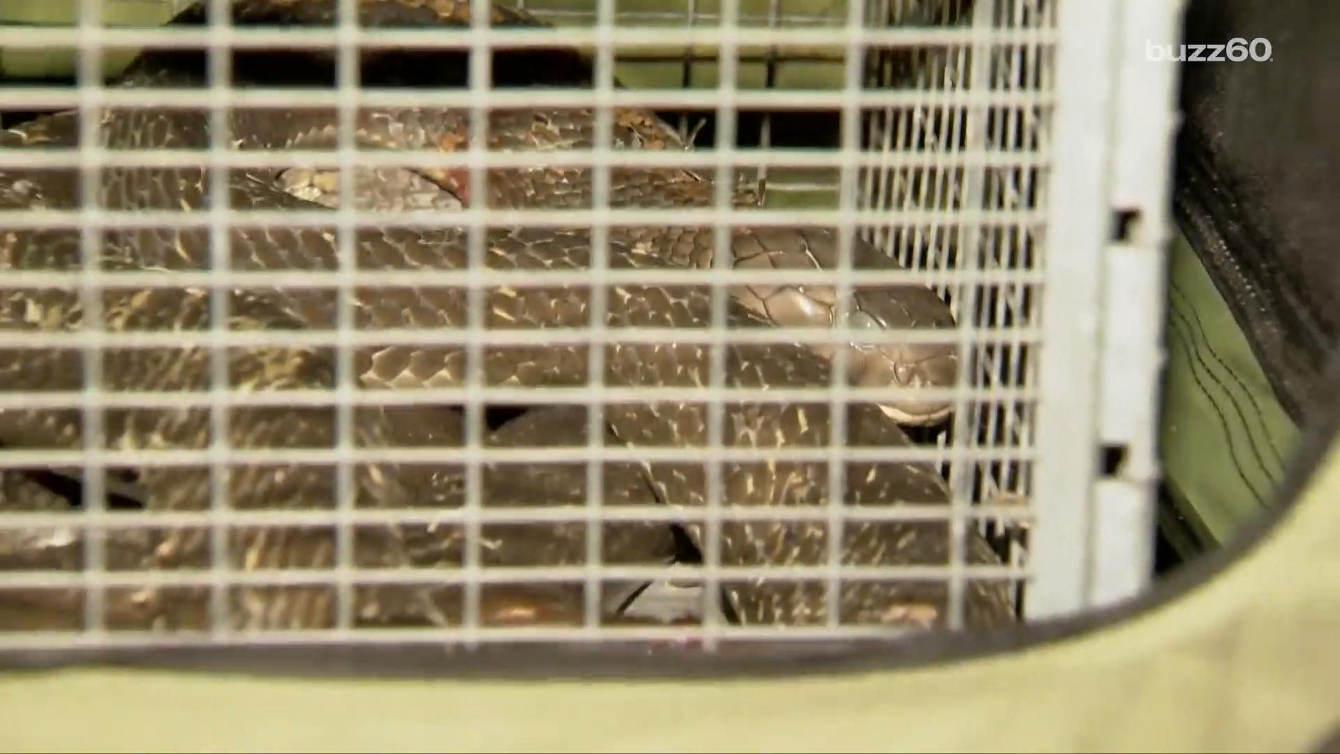 10-foot poisonous King Cobra found under woman's clothes dryer, puts up a fight