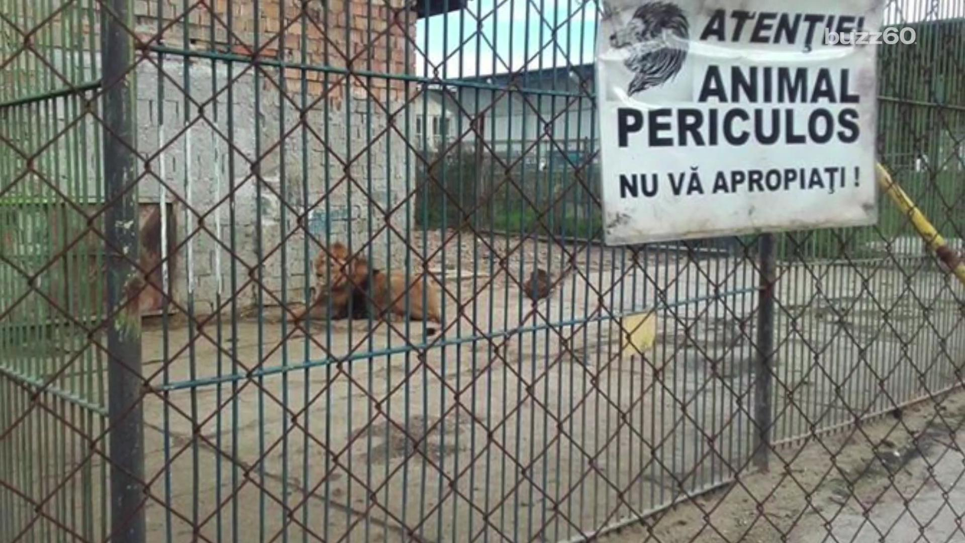 Lions rescued after zoo permanently closes and leaves them behind to die