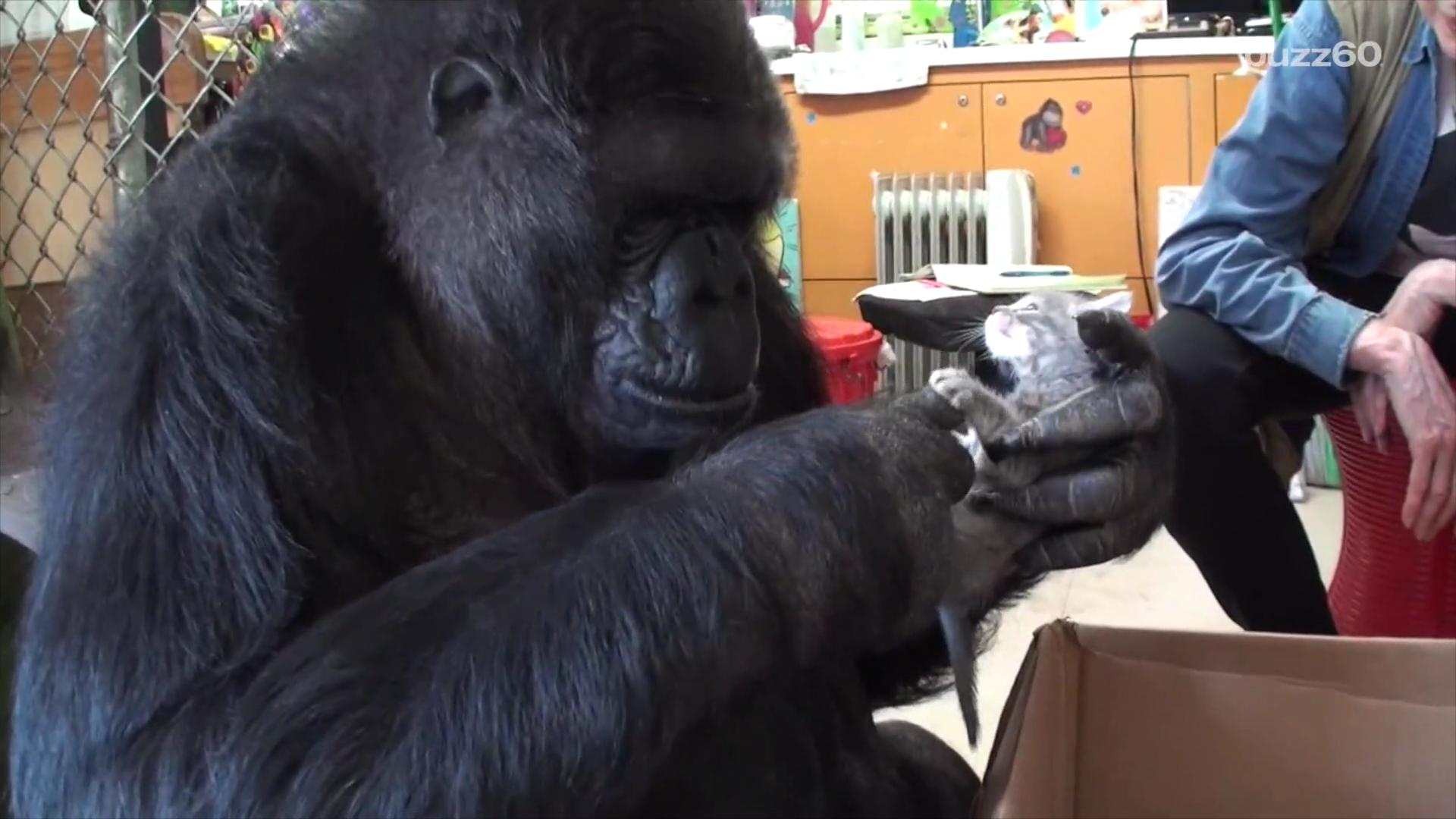 Watch Koko the famous signing gorilla go ape for her new kittens