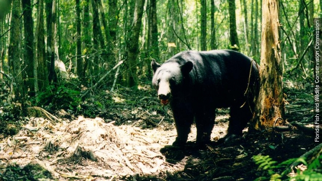 Hunters kill over 200 Florida black bears in a day