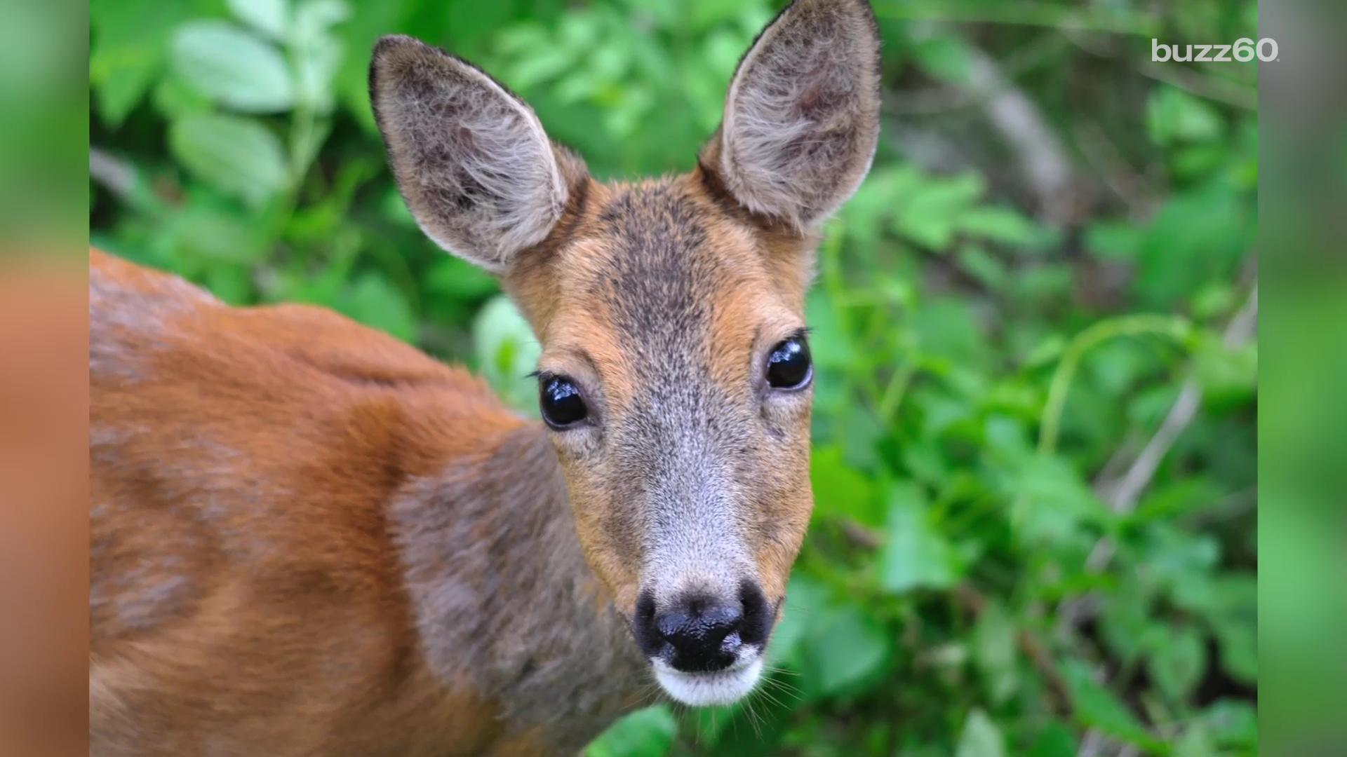 Deer hit by car, walks into emergency room