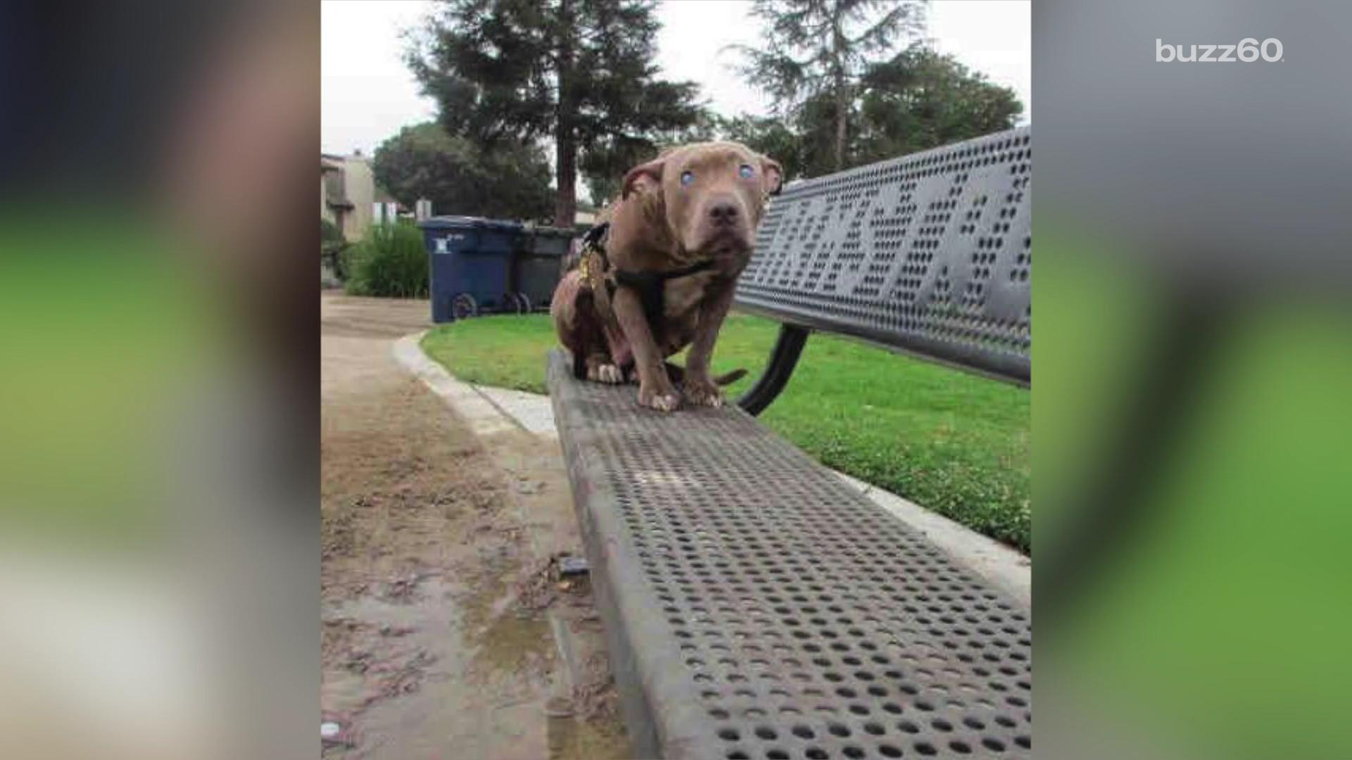 Blind dog left on a park bench learns what love feels like