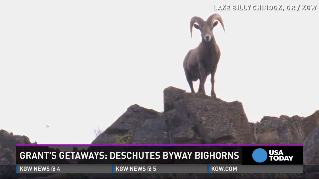 This video of bighorn sheep on a cliff screams vacation