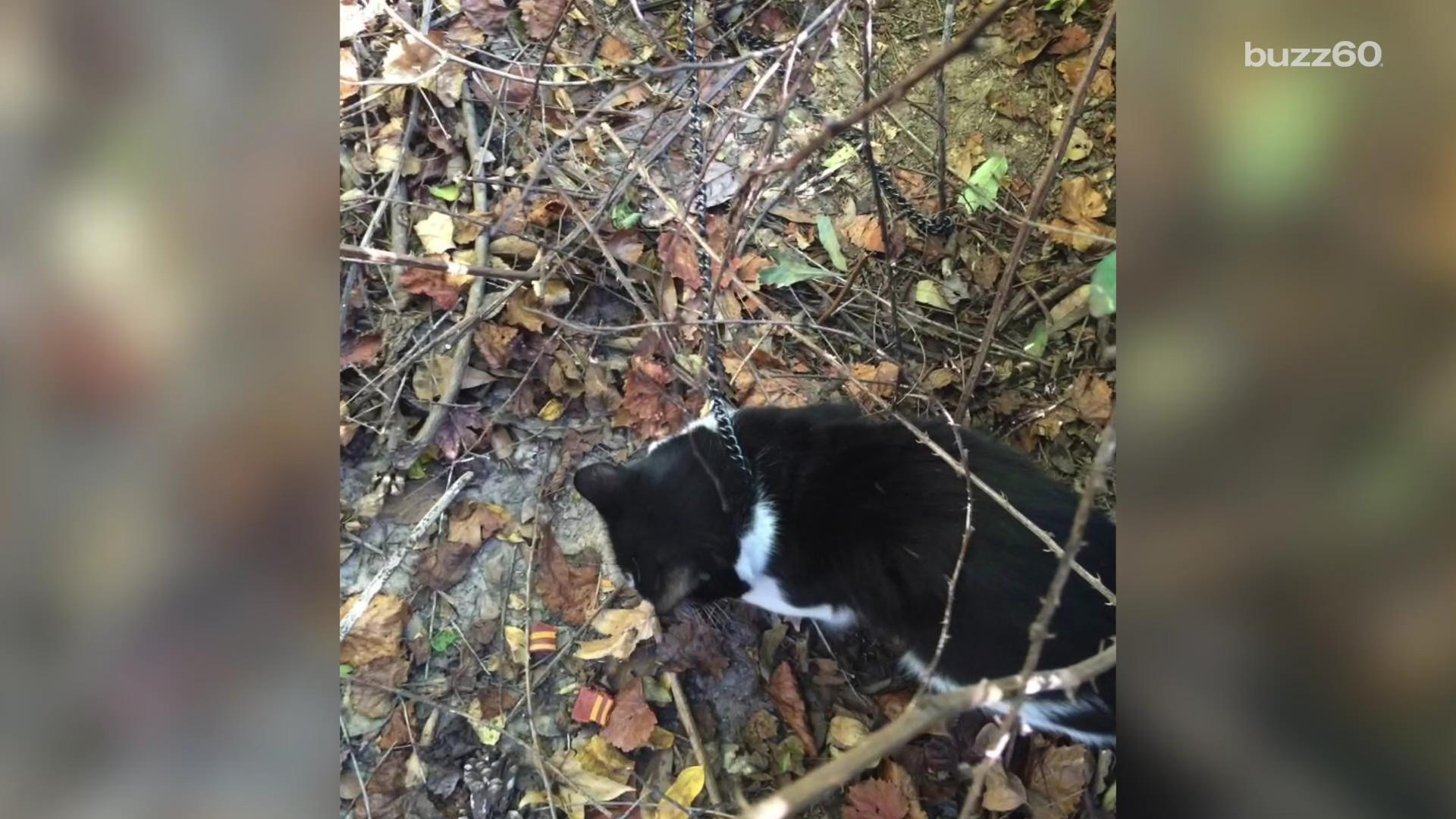 Cat found chained to a tree and left to die in the forest makes remarkable recovery