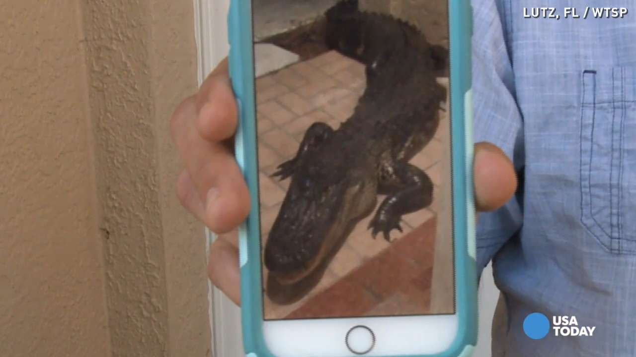 What would you do if a 10-ft gator knocked on your door?