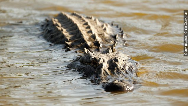 Wait till you see who wrangled this 12-foot gator