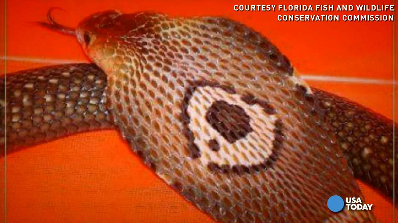 This is how trappers corral venomous snakes