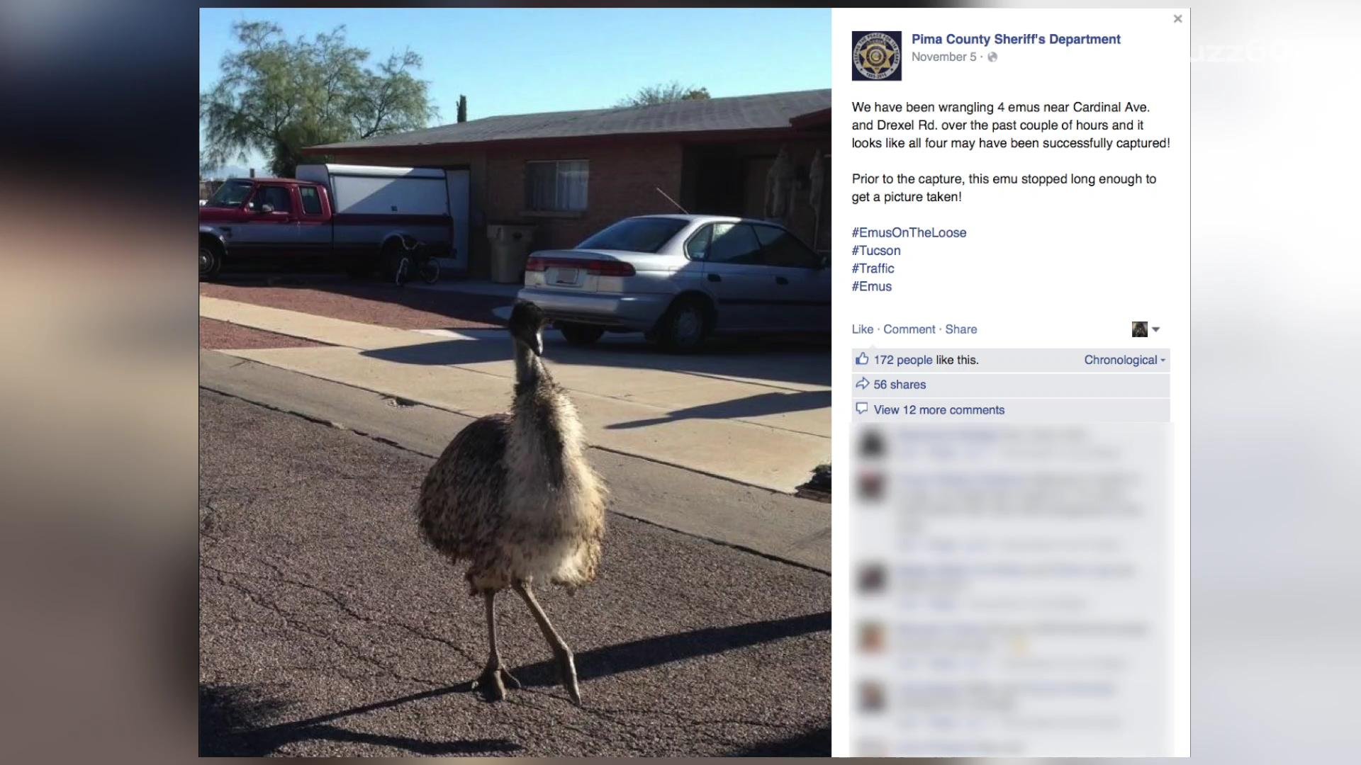 Tucson police chase gang of emus, post video