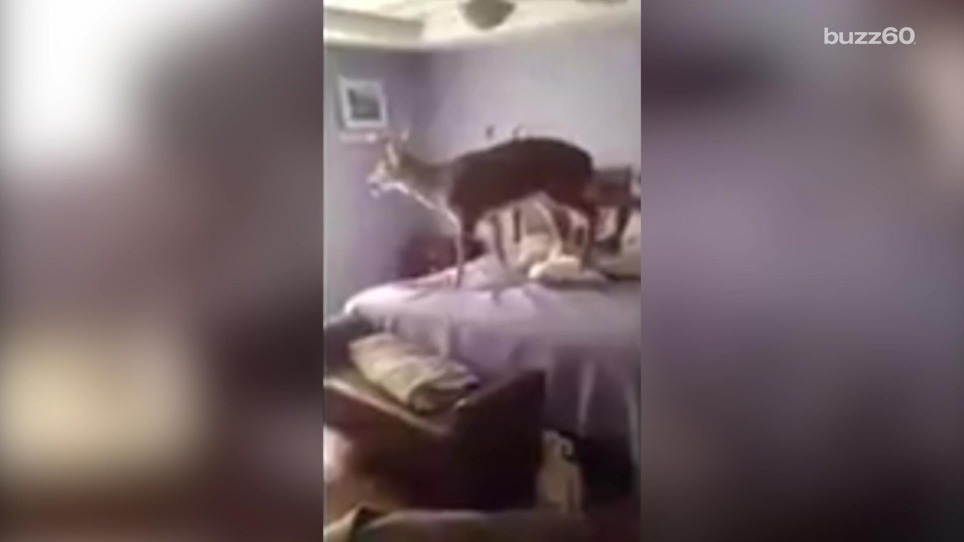 Deer breaks into home and jumps on a bed