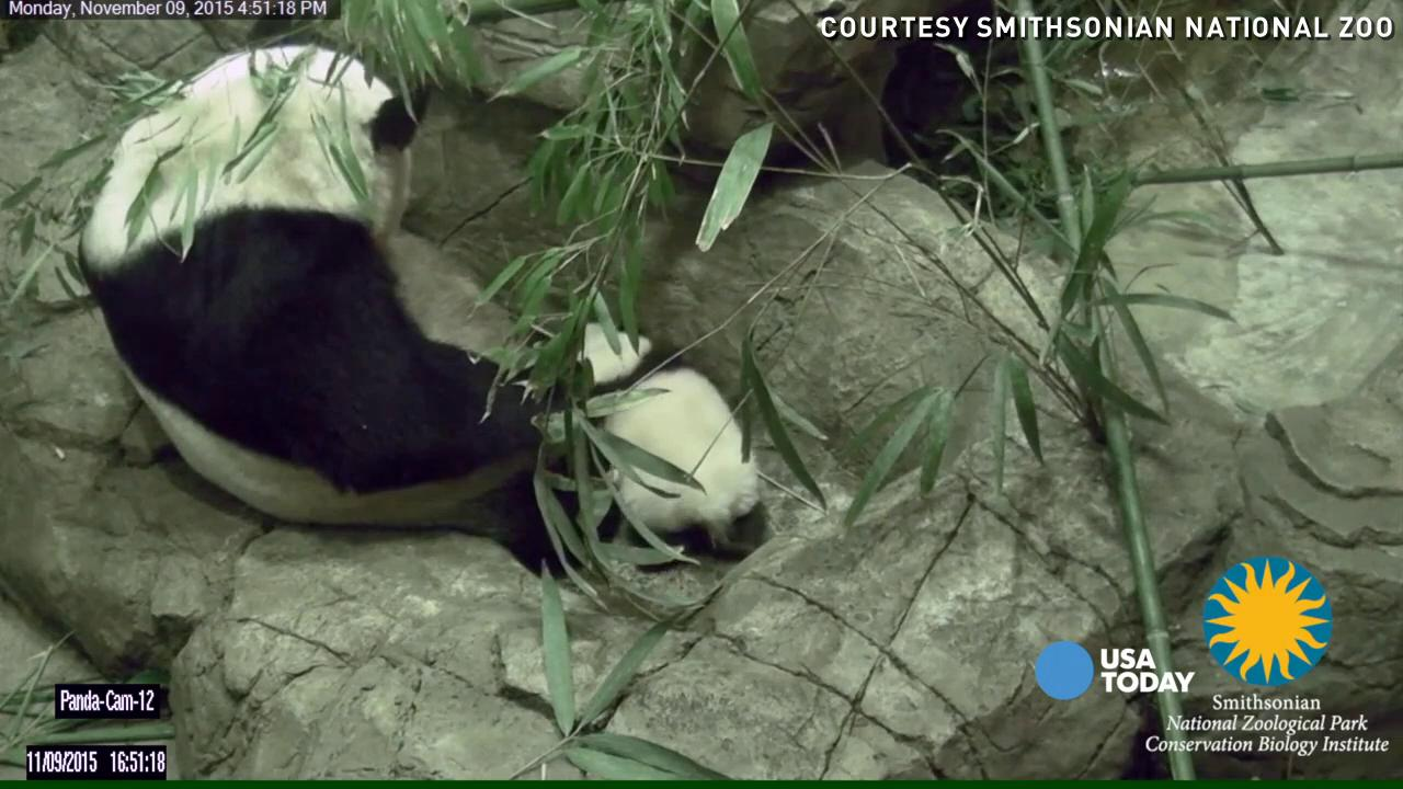 A baby panda named Bei Bei struggles to take his first step in front of his mother at the Smithsonian National Zoo. He will begin to wander around and leave the den on his own in coming days.