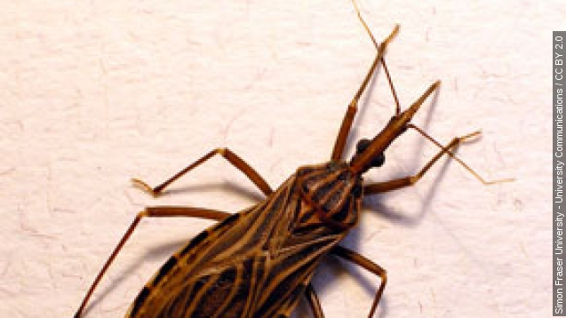 'Kissing Bug' infections are growing in Texas, health officials say
