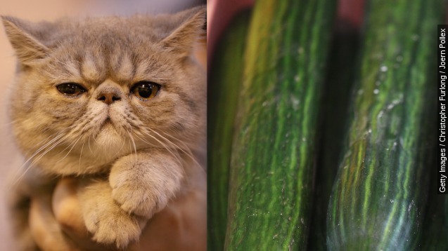 Cats vs. cucumbers: Why are felines so scared of produce?