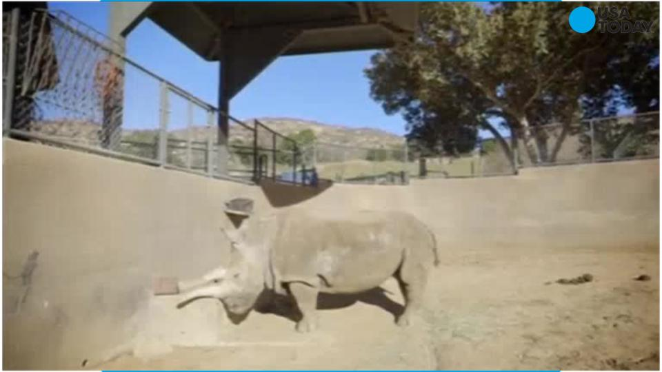 White Rhino dies In San Diego Zoo, three left worldwide