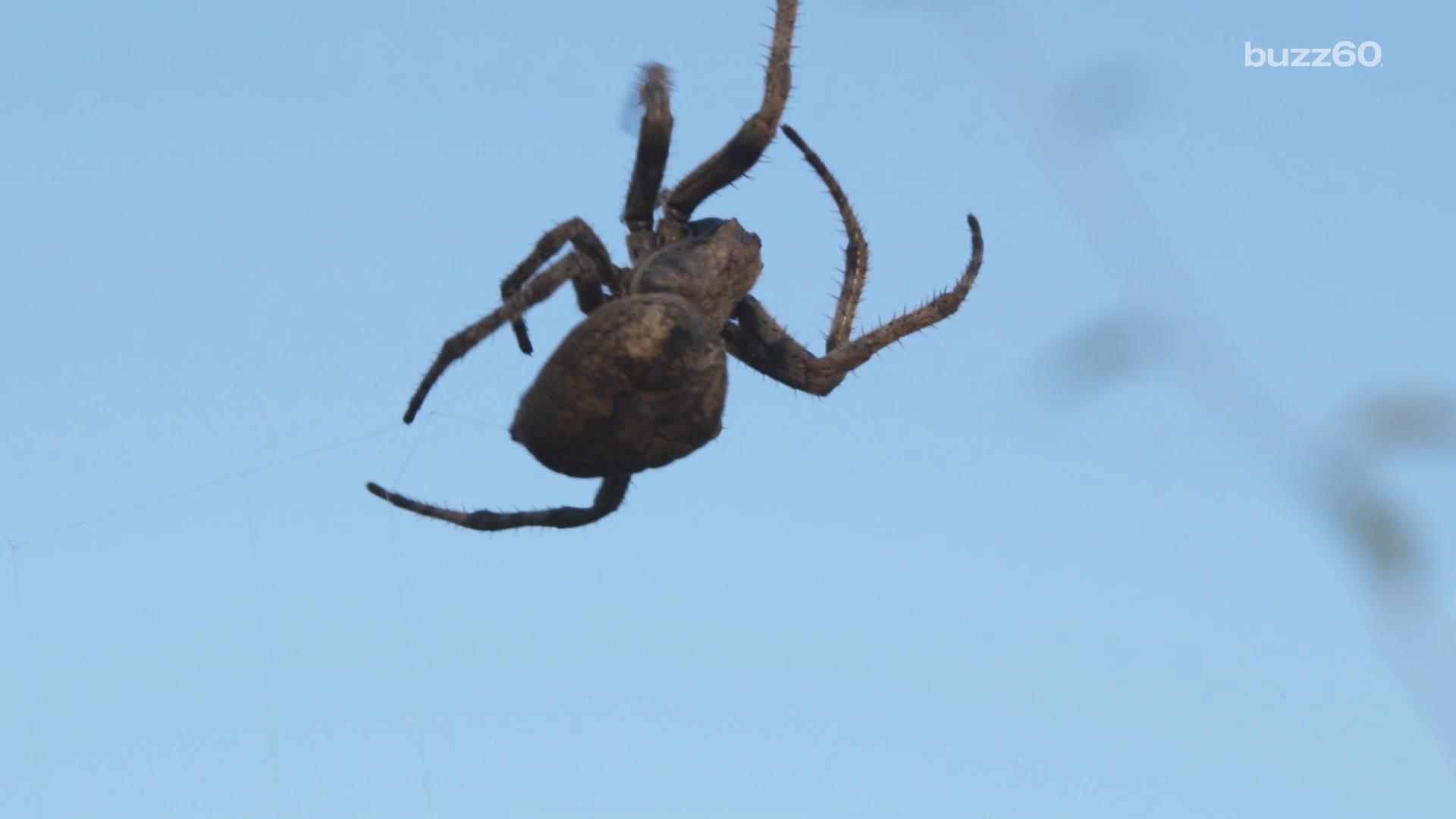 Millions of spiders invade Memphis
