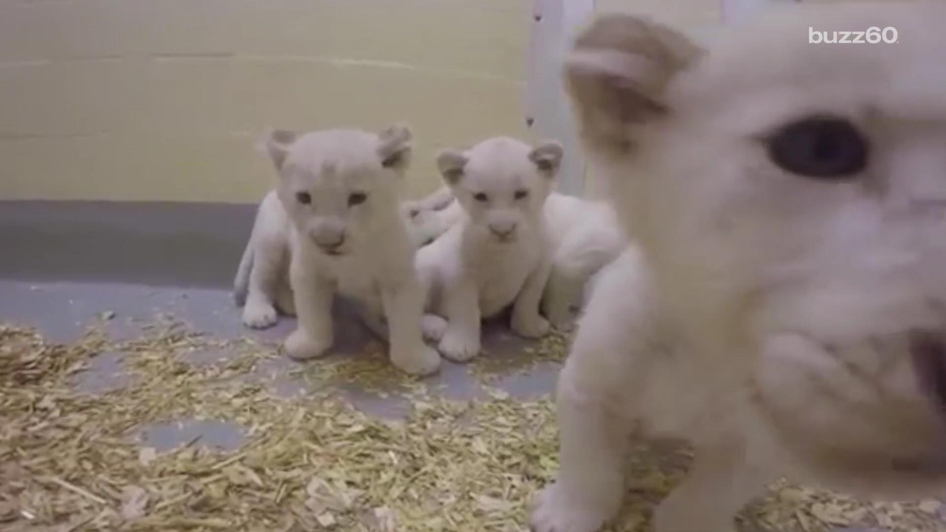 Toronto Zoo's lion cubs are growing up adorably