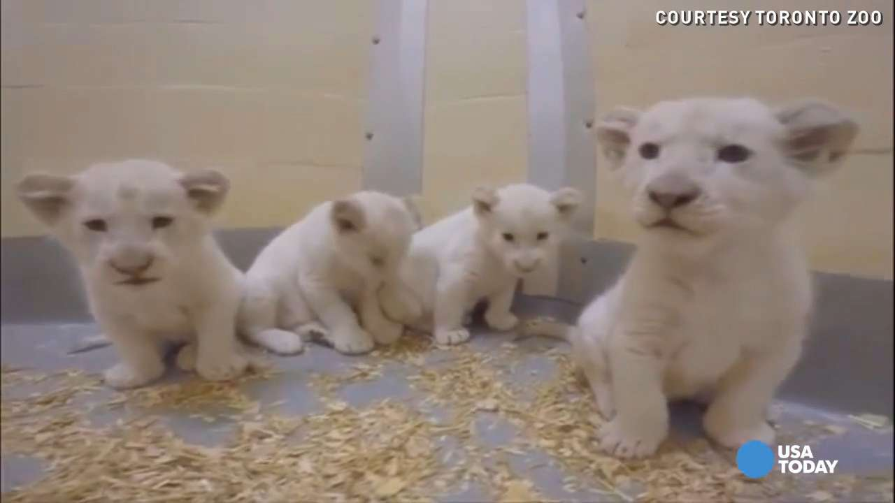 These 4 white lion cubs make an adorable 'boys' club'