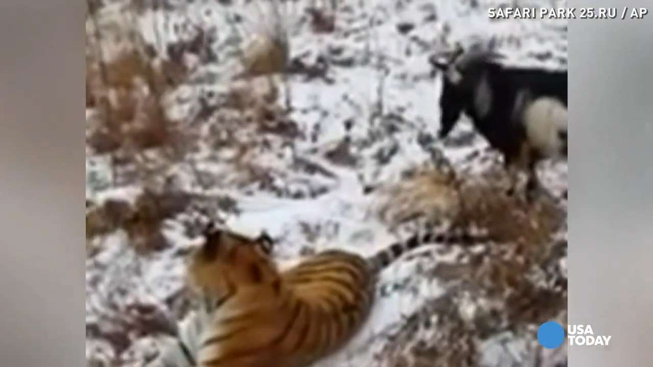 Goat served as tiger's food turns into surprise friend