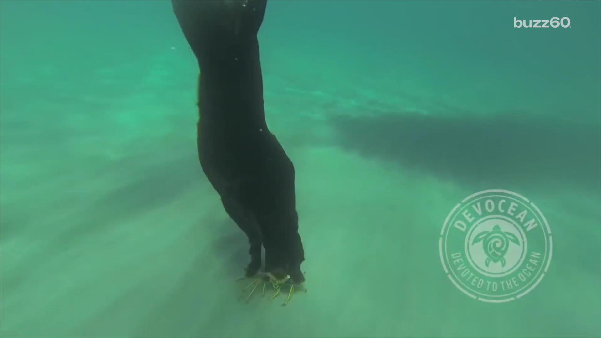 Watch black labradors dive and retrieve live lobsters from the ocean