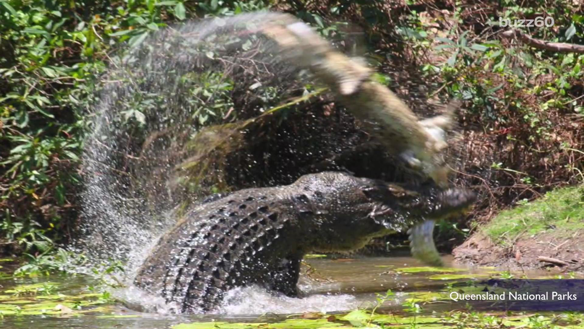 Photos show gigantic crocodile whipping and devouring fellow croc