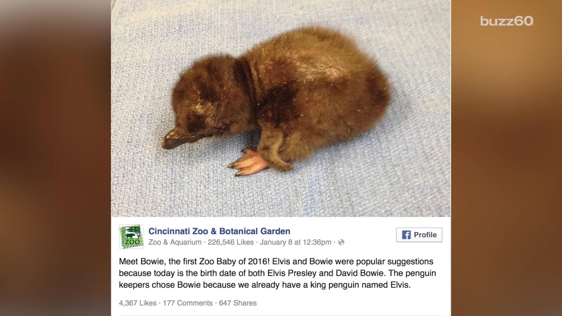 Zoo names baby penguin after David Bowie