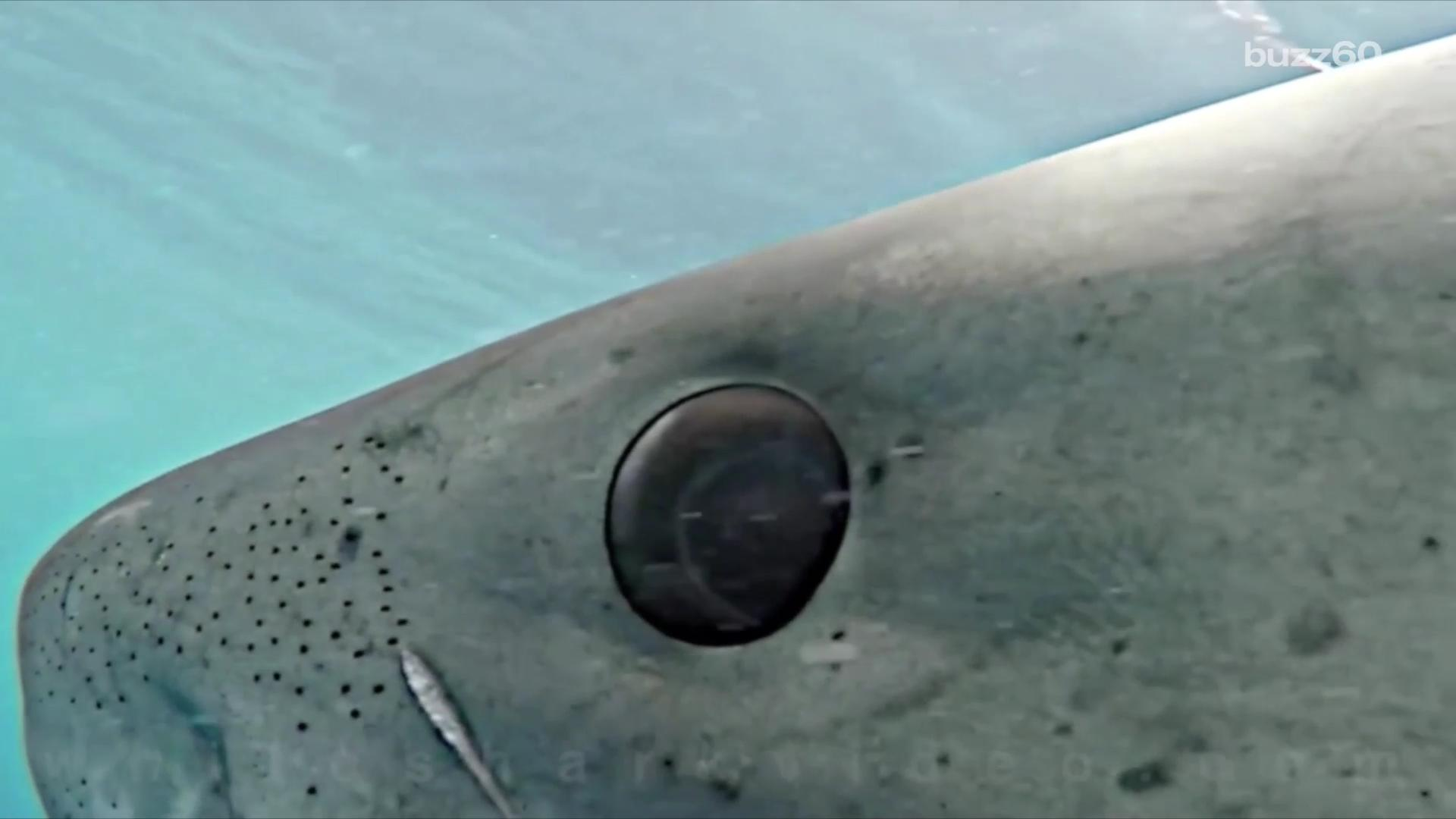 Great White Shark stares right into camera