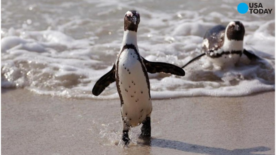 Fun facts about penguins on Penguin Awareness Day