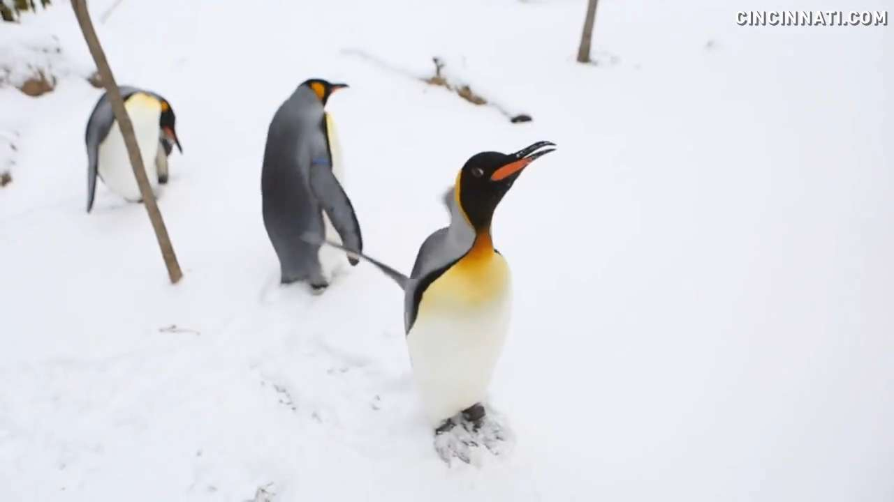 These penguins don't mind a little snow