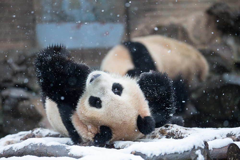 Dueling pandas, a showdown in the snow