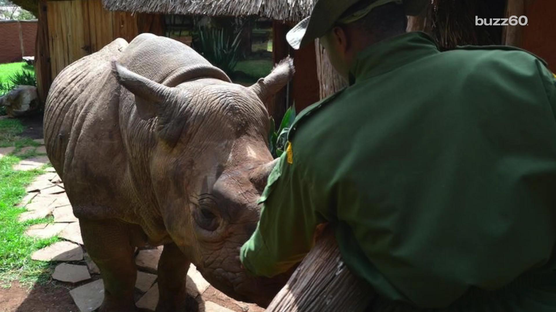 Rhino visits conservancy after being released back into the wild