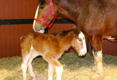 Meet the newest baby Budweiser Clydesdale