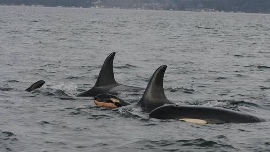 Baby orca swimming with pod caught on camera