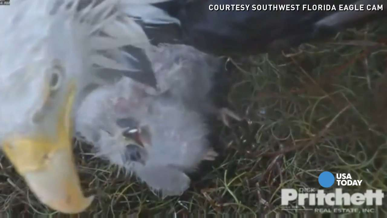 It took days for this eaglet to break free from its shell and join its newborn sibling. Southwest Florida Eagle Cam captured the magical moments.