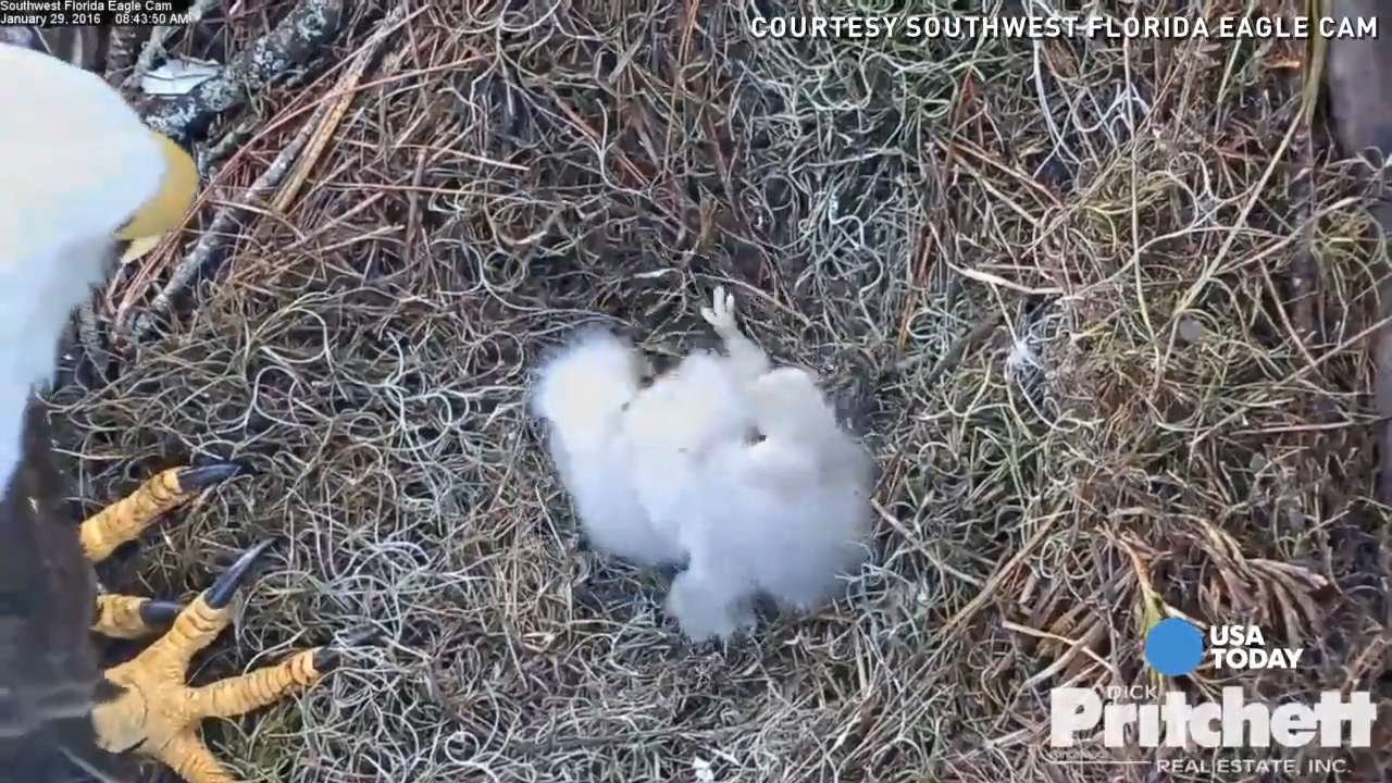 When it comes to feeding time, these two newborn eaglets push and pull each other to get the first bite.