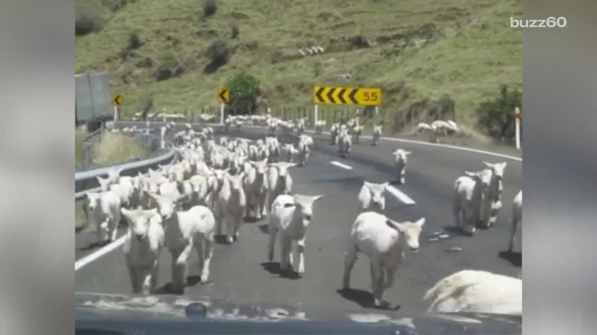 """Thousands of adorable sheep caught on video in a """"lampede"""""""