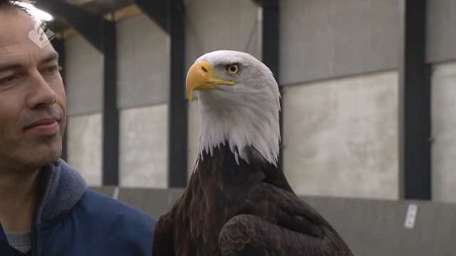 Authorities in the Netherlands have trained bald eagles to pluck nuisance drones out of the air. Video provided by Newsy