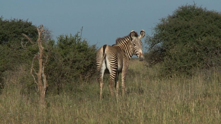 Scientists in Kenya are counting a threatened species of zebra, using their stripes as a natural barcode. Grevy's zebra in East Africa numbered around 15,000 in the late 1970s but are believed to be fewer than 3,000 today. Video provided by AFP